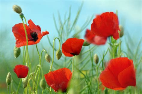 poppies meaning poppy flower meaning flower meaning