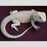 Leucistic Bearded Dragon | 745 x 559 jpeg 71kB