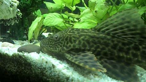 poisson eau froide aquarium 20l poisson laveur de vitre gros poisson