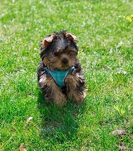 Puppy Yorkshire terrier in clothes on a green grass ...