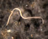 phylum nematoda kingdom animalia