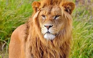 Wallpaper : lion, face, big cat, carnivore, mane 1920x1200