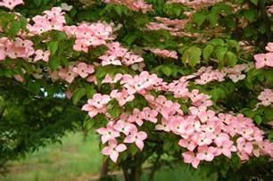 flowers wholesale satomi dogwood cornus kousa 39 satomi 39 wholesale