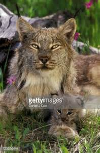 Canadian Lynx and Kitten