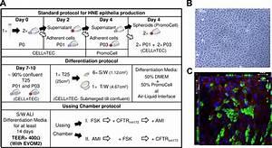 Human nasal epithelia in vitro reconstitution. (A ...
