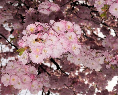 Free Images : branch flower petal spring produce pink