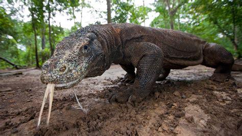 komodo dragon varanus komodoensis