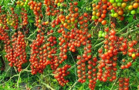 cultivation of tomatoes tomato farming information guide asia farming