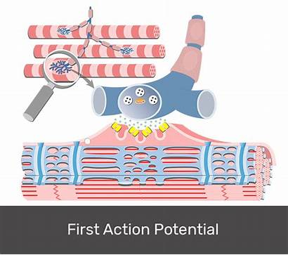 Contraction Muscle Excitation Coupling Fiber Potential Acetylcholine