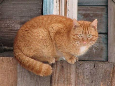 gatti persiani pelo corto gatto europeo rosso pelo corto caratteristiche