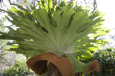 how to plant a staghorn fern in a hanging basket staghorn ferns growing platycerium species