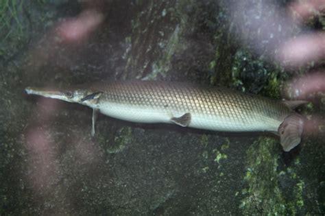 gar alligator spatula atractosteus ocean otlibrary
