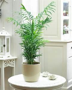 Plante De Salon : palmier d int rieur esp ces propri t s et conseils d entretien ~ Teatrodelosmanantiales.com Idées de Décoration