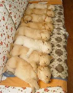 Sleeping Golden Retriever puppies - Teh Cute