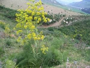 come coltivare lo zenzero fra le piante officinali Le Piante Aromatiche it