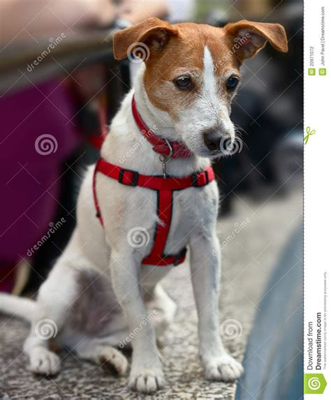 parson jack russell terrier watching stock photo image