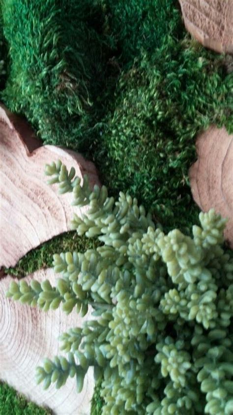 how to grow sheet moss preserved plants mood moss sheet moss wood disks artificial donkey tail succulents frame