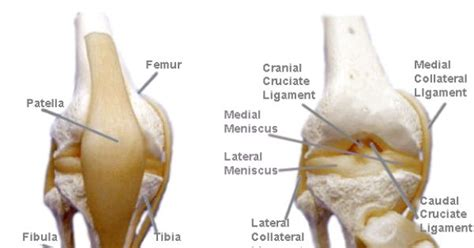 dogs skeleton view stifle anatomy  cruciate