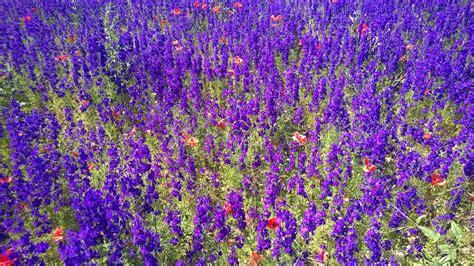 mare  fiori fiore campo viola foto gratis su pixabay