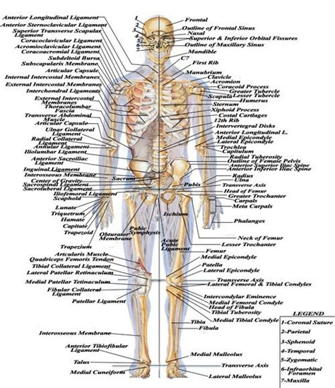 Human muscle system, the muscles of the human body that work the skeletal system, that are under voluntary control, and that are concerned with the following sections provide a basic framework for the understanding of gross human muscular anatomy, with descriptions of the large muscle groups. skeletal.jpg (500×580) | Human body diagram, Human body ...