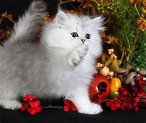 1000 images about kittens for my munchkin on pinterest With what kind of paint to use on kitchen cabinets for tiffany and co crystal candle holders
