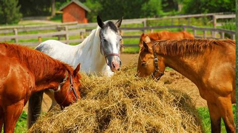 quarter horses horse breed equine most popular america american professorshouse today