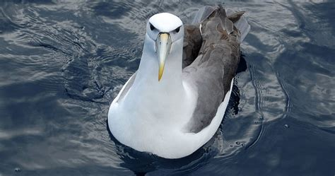 albatross  biggest animals kingdom