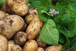 Kartoffeln Lagern Wohnung : die 5 besten gem sesorten f r balkong rten ~ Lizthompson.info Haus und Dekorationen