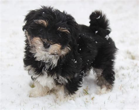 Non Shedding Small Dogs Ontario 1000 ideas about small dogs for sale on