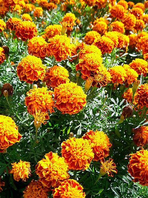 marigolds keep bugs away 5 reasons to plant marigolds gardenswag