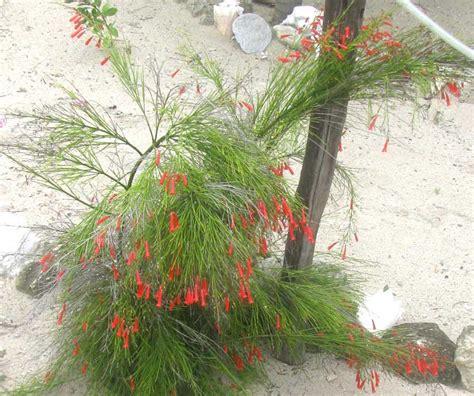 jual tanaman bunga air mancur bunga air mancur merah