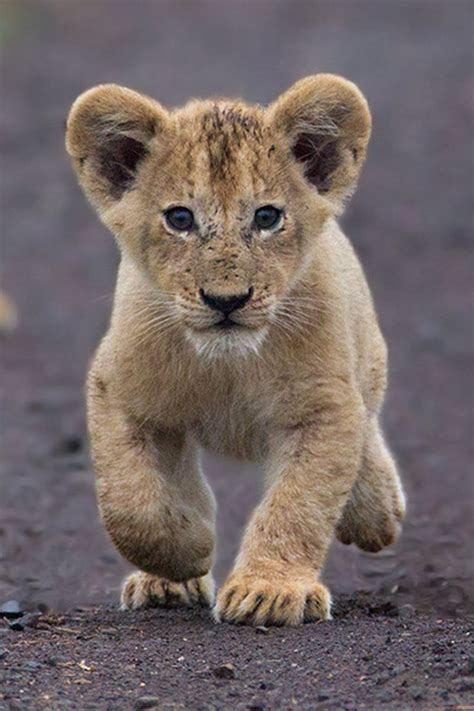 lion cub  hendri venter animal instinct pinterest