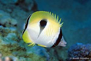 Teardrop Butterflyfish, Chaetodon unimaculatus - Tim's ...