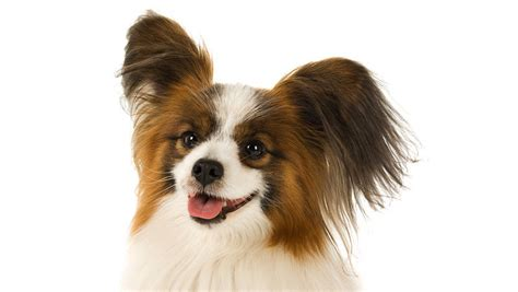 Shed Free Dogs Small by Small Breeds That Do Not Shed Breeds Picture
