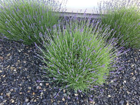 pflanzen für kiesbeet pflanzen f 252 rs kiesbeet 187 die sch 246 nste pflanzenauswahl