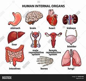 Human Organs  Internal Organs Set  Image  U0026 Photo