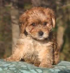 BROWN MALTESE DOG - GOOGLE SEARCH on The Hunt