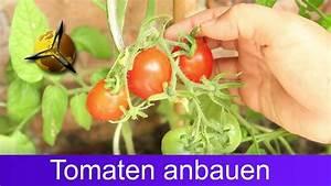 Aprikosenbaum Selber Ziehen : tomaten selber ziehen anbauen und ernten youtube ~ A.2002-acura-tl-radio.info Haus und Dekorationen
