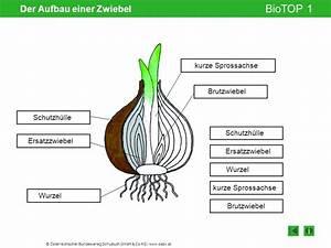 Aufbau Der Zwiebel : der aufbau einer zwiebel ppt video online herunterladen ~ Lizthompson.info Haus und Dekorationen