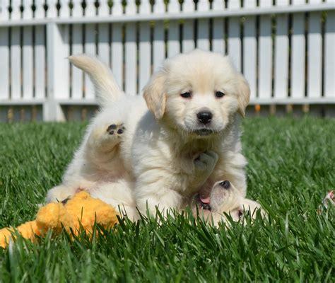 White Golden Retrievers For Sale Golden Meadows Retrievers