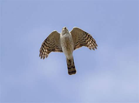 sharp shinned hawk accipiter striatus boreal songbird
