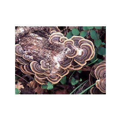 California Fungi: Trametes versicolor