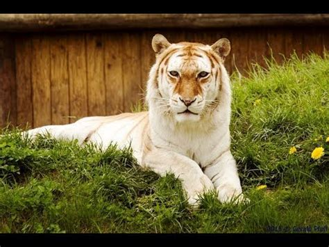 The Golden Tabby Tiger Beautiful Highly Intelligent