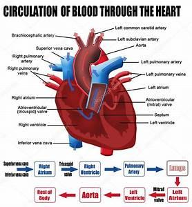 Circulation Of Blood Through The Heart  U2014 Stock Vector  U00a9 Roxanabalint  10611700