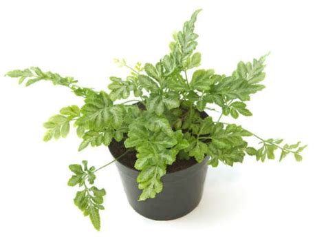 low light ferns ferns low light plant low light plants 10 forgiving houseplants bob vila