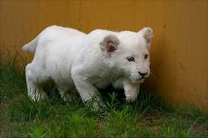 Baby white lion by Svenimal | ANIMAL BABIES | Pinterest