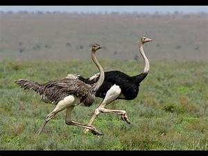Ostrich Run! - YouTube