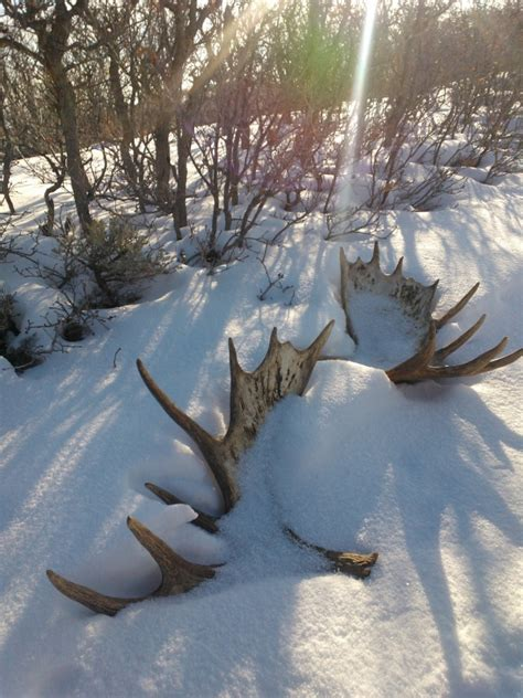 Moose Shed Antler Forums by Big Buck And Bull Moose Sheds Monstermuleys