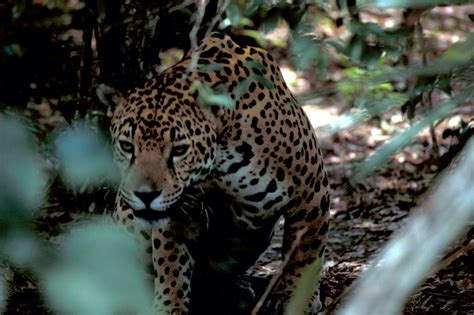How Are Jaguars Endangered by Endangered Species The National Humane Education Society