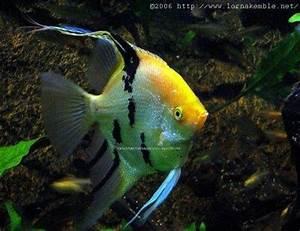 Aquarium Fish & Others Angel Fish
